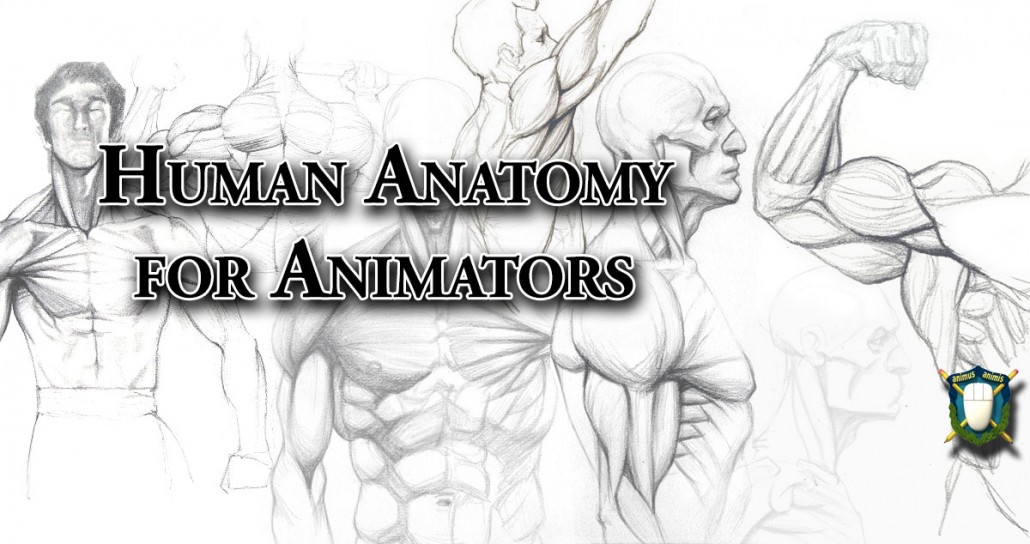 human anatomy for animators - the skeleton and muscles, Muscles