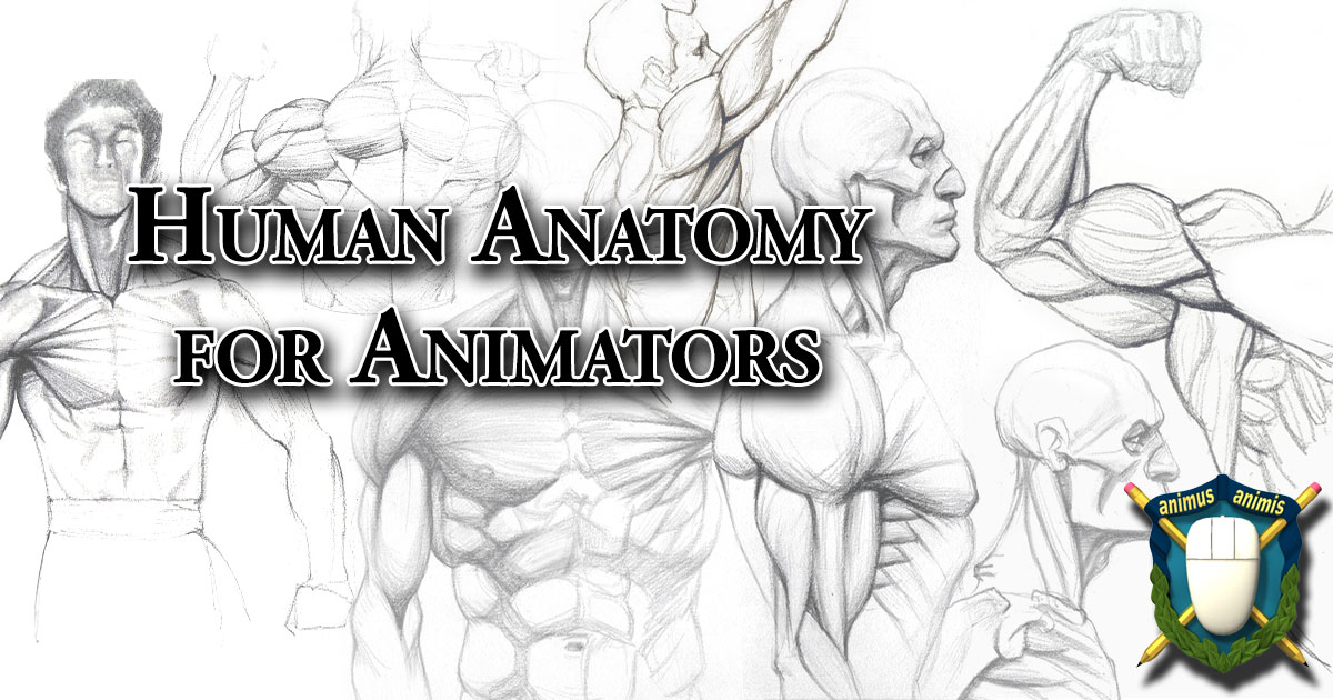 Anatomy For Animators 01 - The Human Skeleton and Muscles