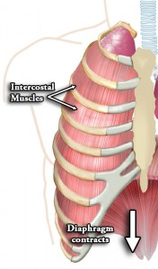 Intercostal muscles of the lungs and ribs